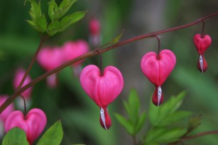 pink heart shaped flowers representing blossoming seeds of love